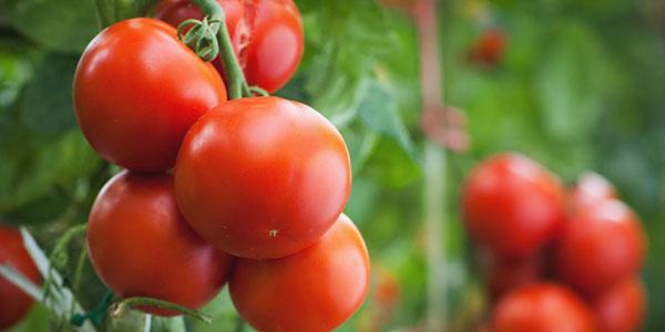 Les tomates sont idéales pour hydrater la peau