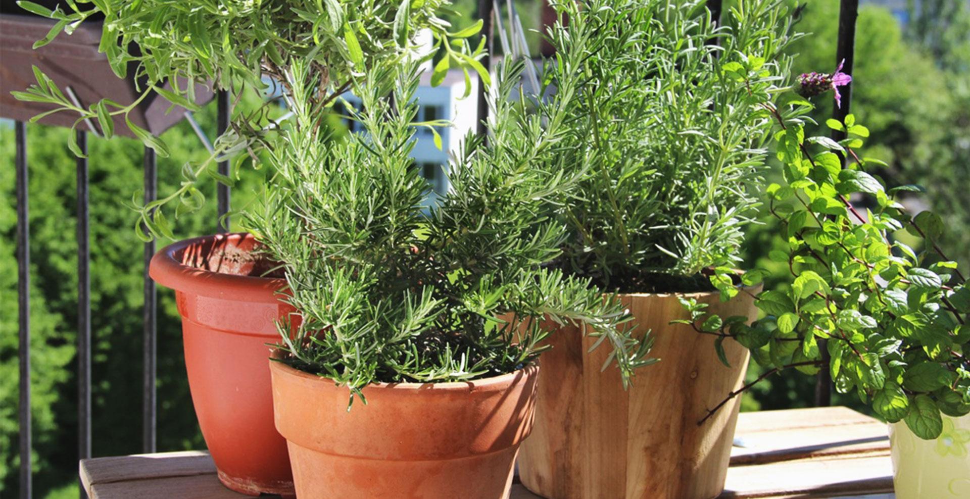 cultivez vos plantes aromatiques chez vous le blog invite1chef. Black Bedroom Furniture Sets. Home Design Ideas