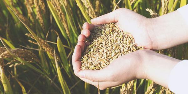 Les céréales sont plus pauvres en fer, zinc et cuivre
