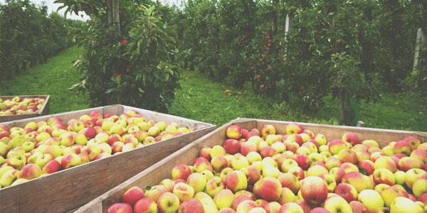 1 pomme des années 50 vaut 100 pommes actuelles